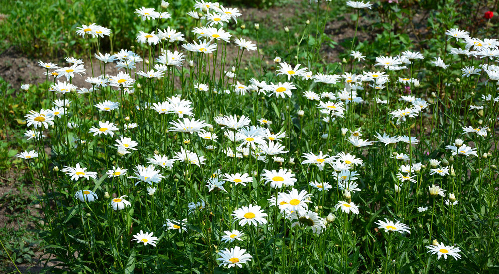 how to care for a shasta daisy