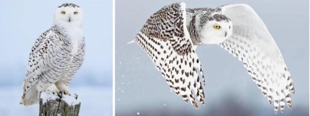 common snowy owl