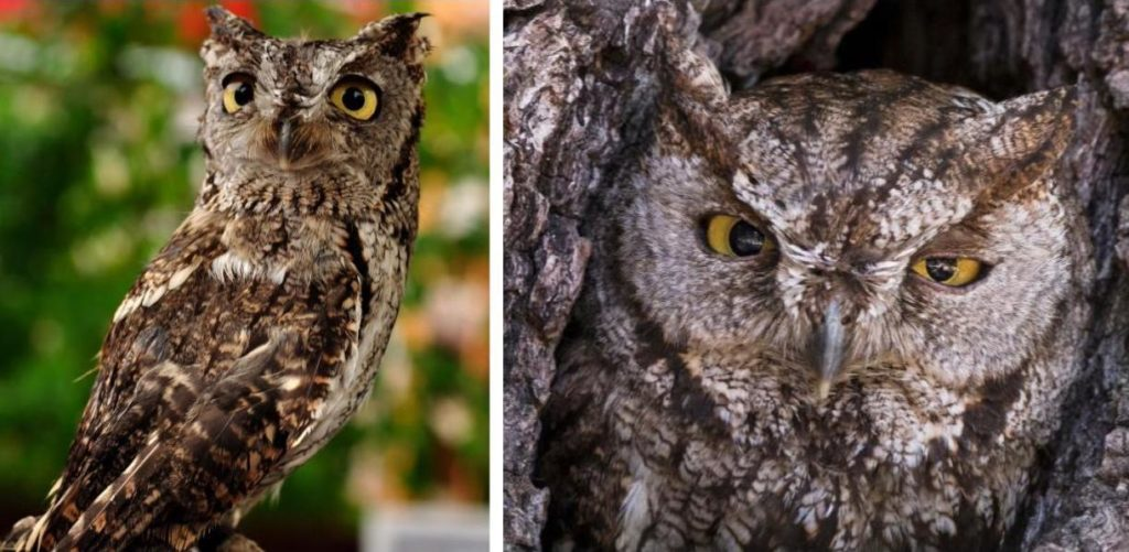 types of owls in north america