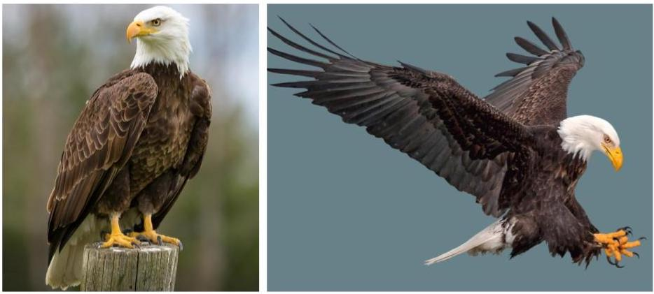 common eagles in the united states