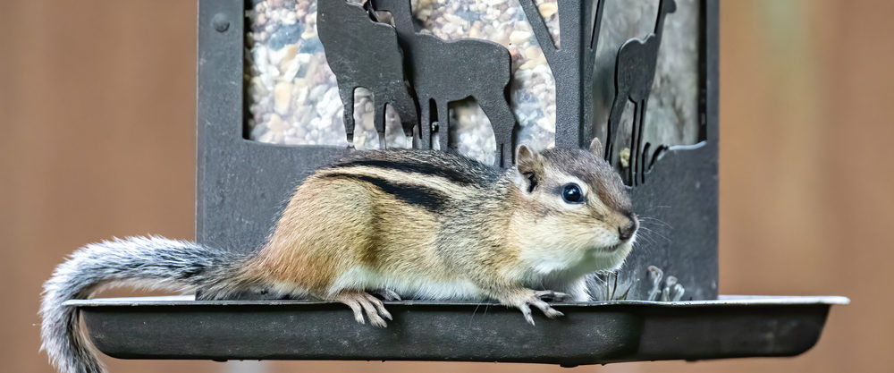 chipmunks out of bird feeders
