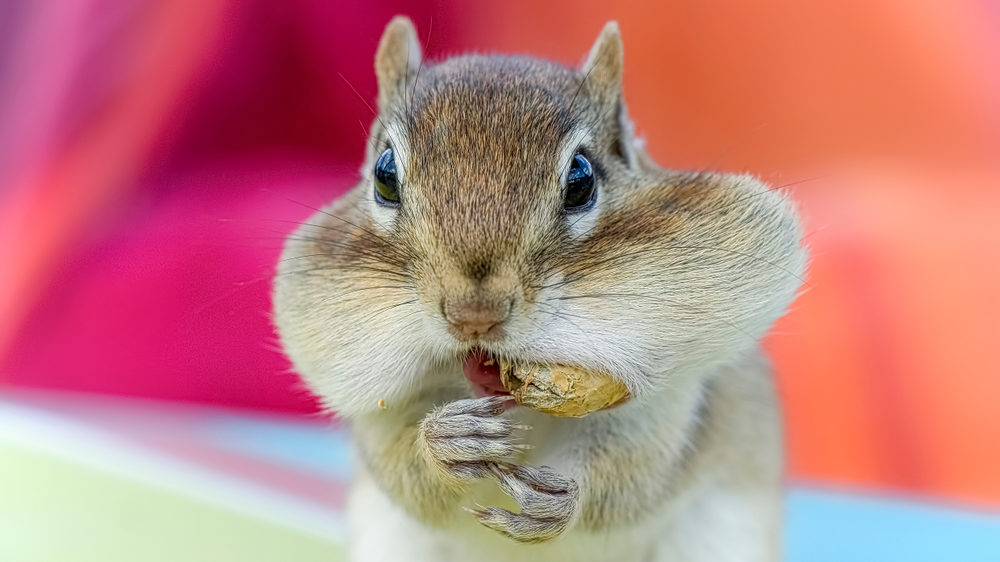 keeping chipmunks away from bird feeders