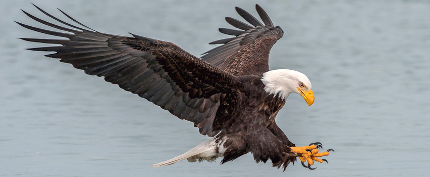 common types of eagles in the united states