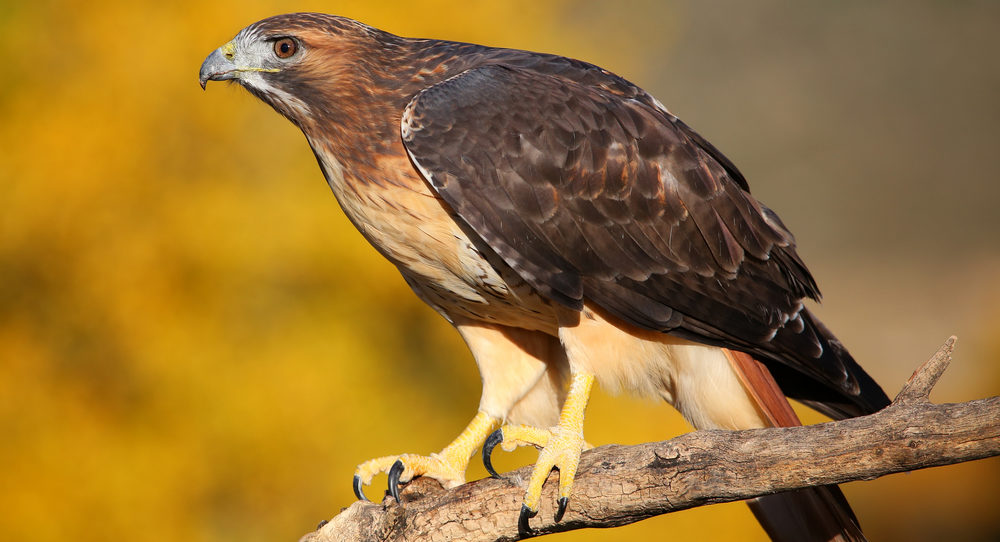 common hawks in the united states