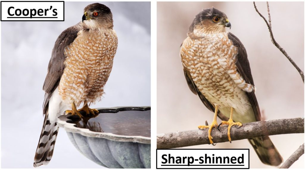 cooper vs sharp shinned hawk - types of hawks in the united states