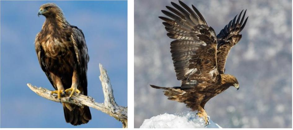 species of eagles in the united states
