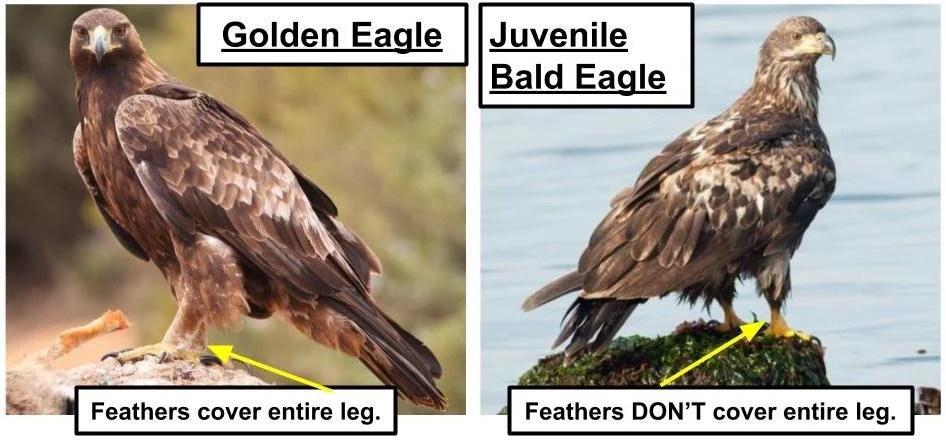 golden eagle vs bald eagle juvenile - common eagles in the united states
