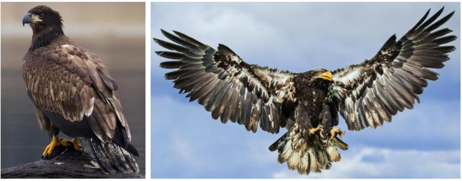 commons eagles in the united states