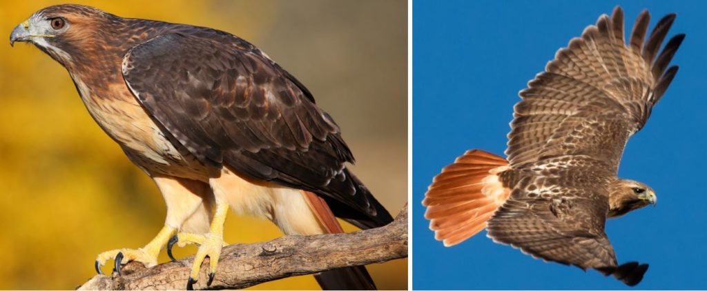 types of hawks in the united states