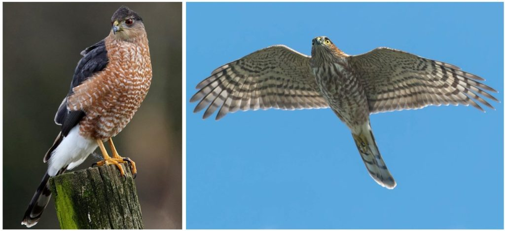 species of hawks in the united states