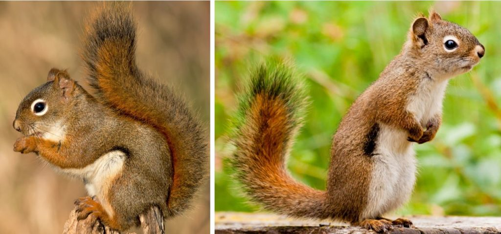 american red squirrel - species of squirrels in the united states