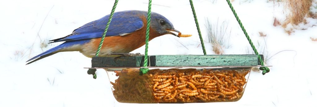 species of bluebirds in the united states