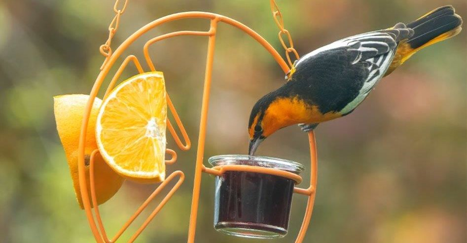 bullocks oriole on bird feeder