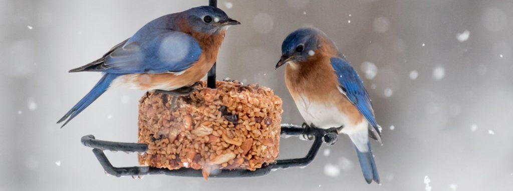 common bluebirds