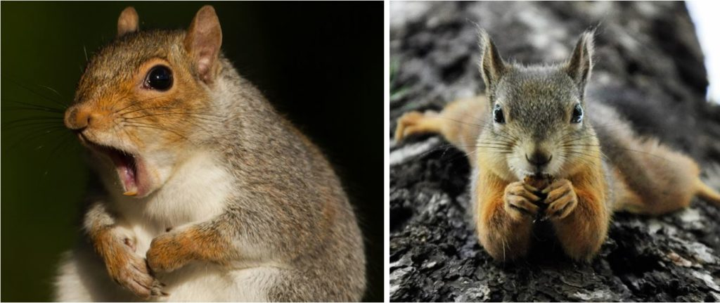 common squirrels in alabama