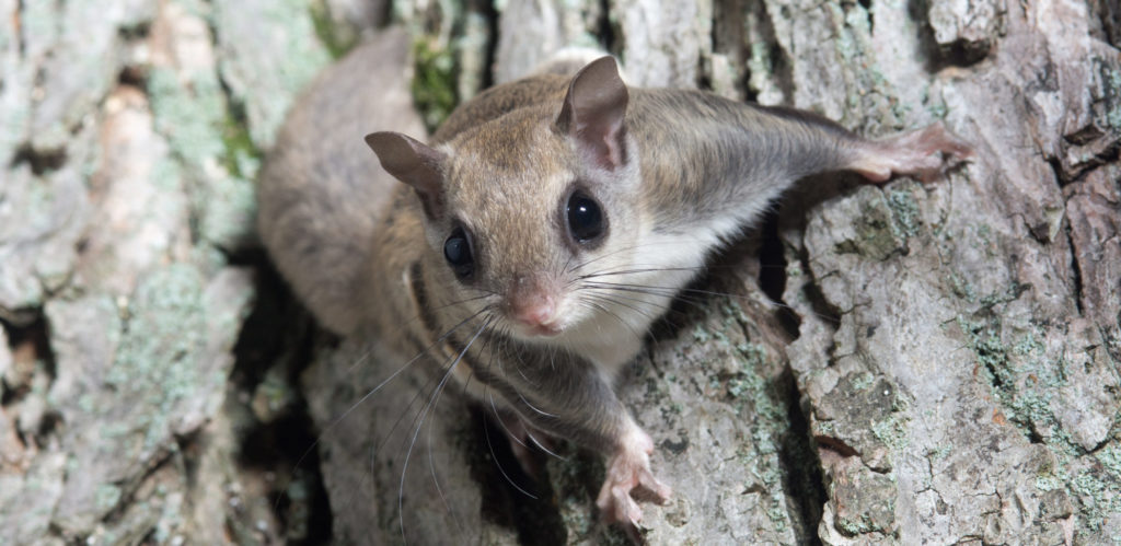 common types of flying squirrels