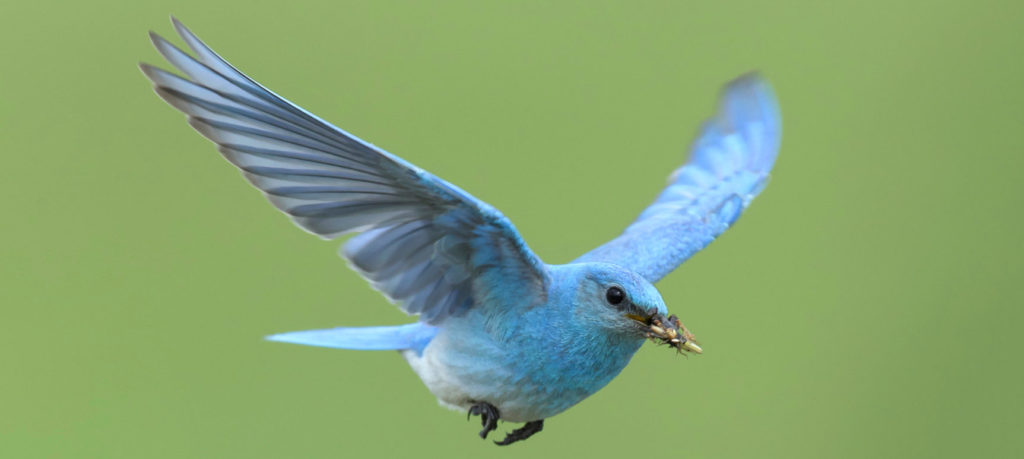 mountain bluebird flying after insects