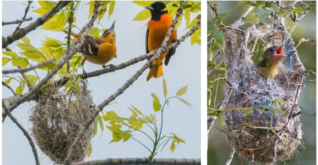 types of orioles in the united states