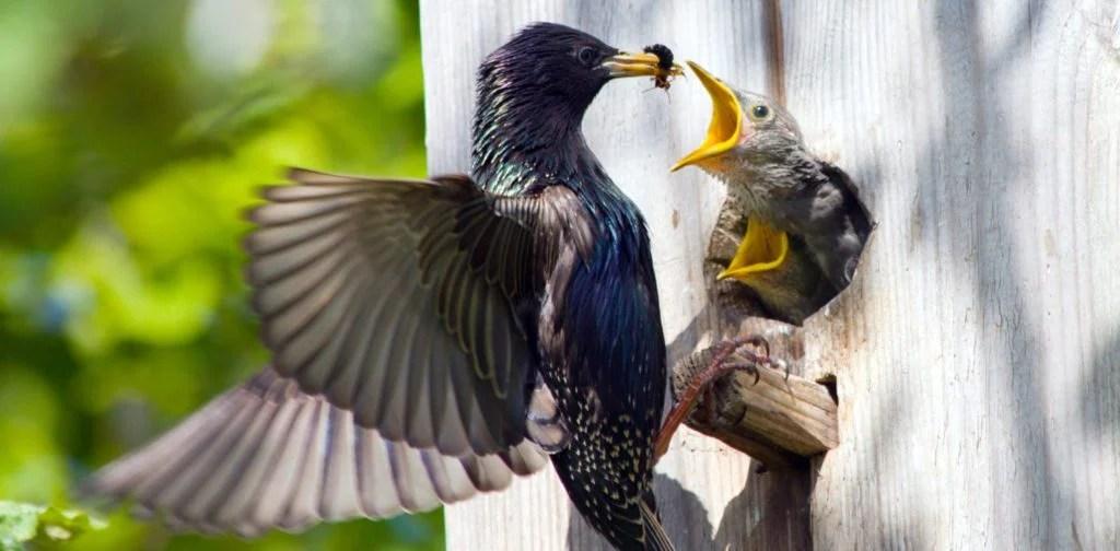 starling using bluebird nest box