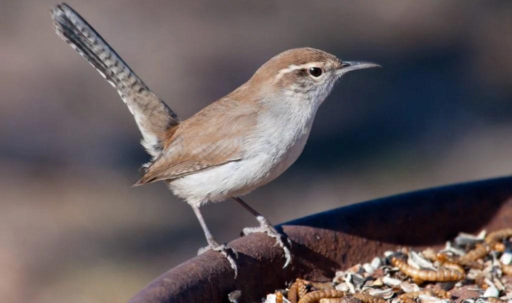 bewick's wren on bird feeder
