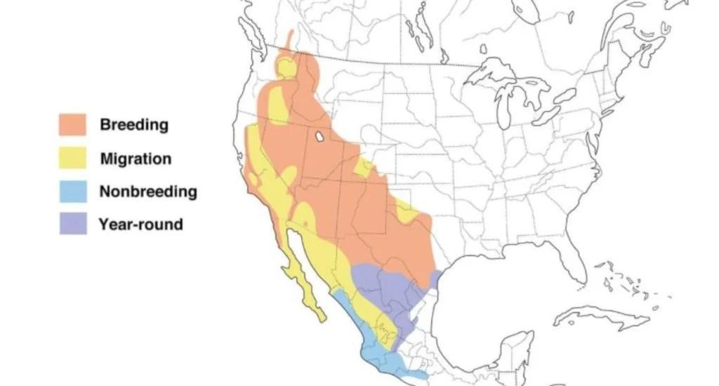 black chinned hummingbird range map