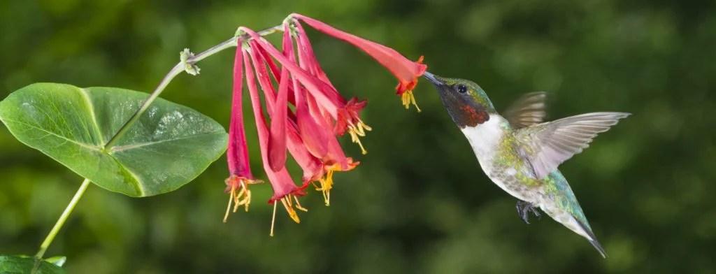 kinds of hummingbirds