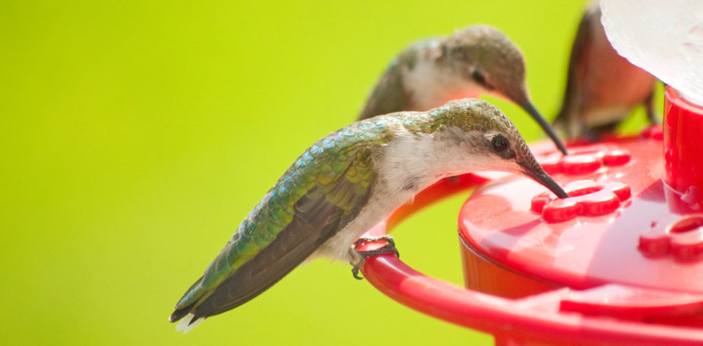 types of hummingbirds in alabama