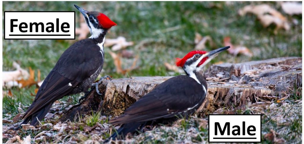 Woodpeckers species that live in United States