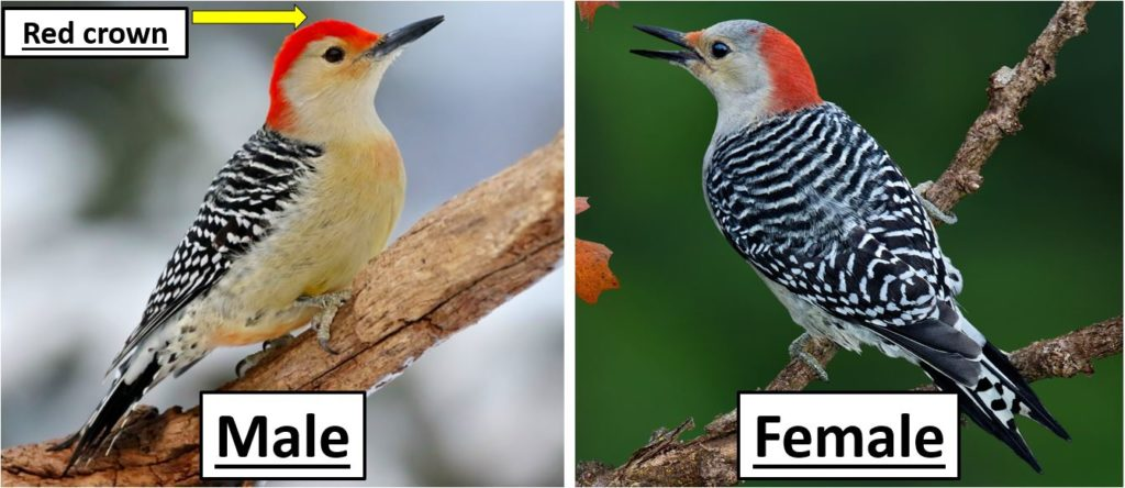 Common Woodpeckers species in United States