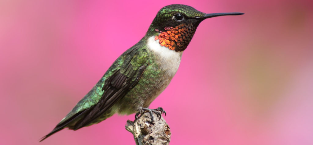 common hummingbirds in alabama