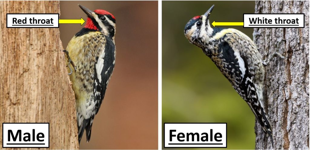 United States Woodpeckers species