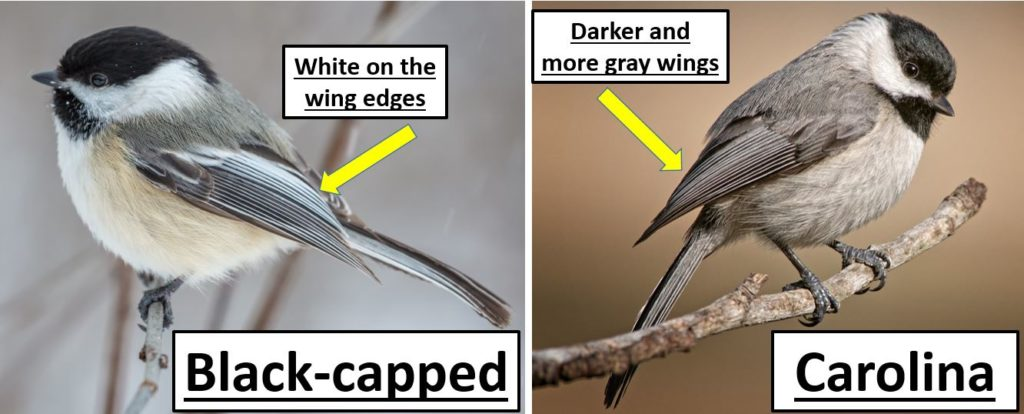 carolina vs black capped chickadee