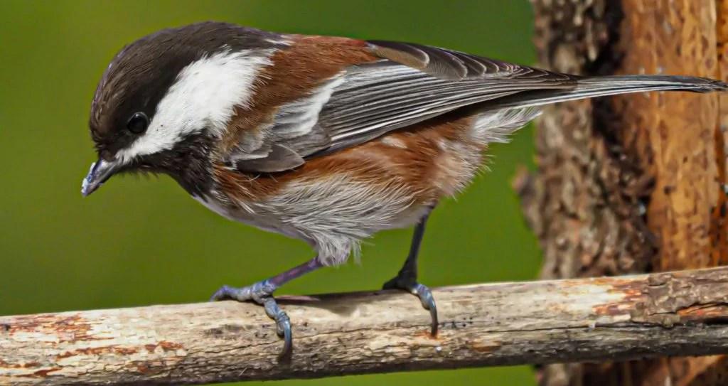 chestnut backed chickadee