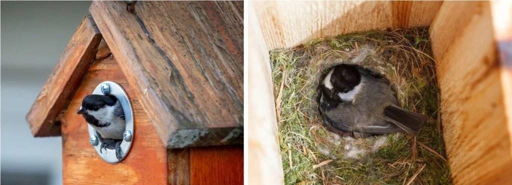 chickadees in nest box