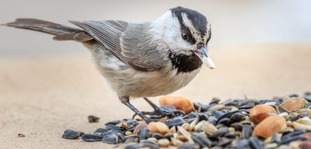 mountain chickadee on bird feeder