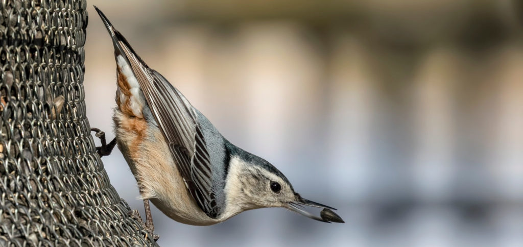 common nuthatch on bird feeder