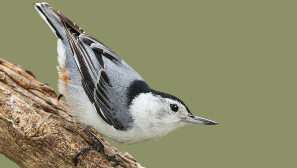 types of nuthatches