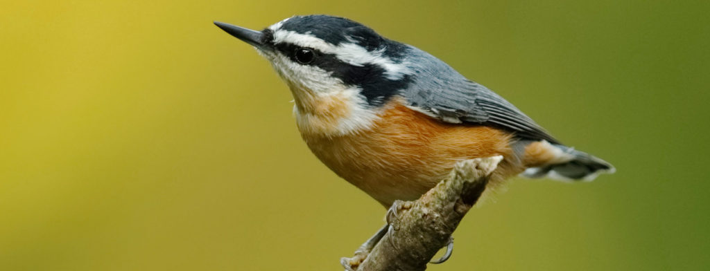 species of nuthatches