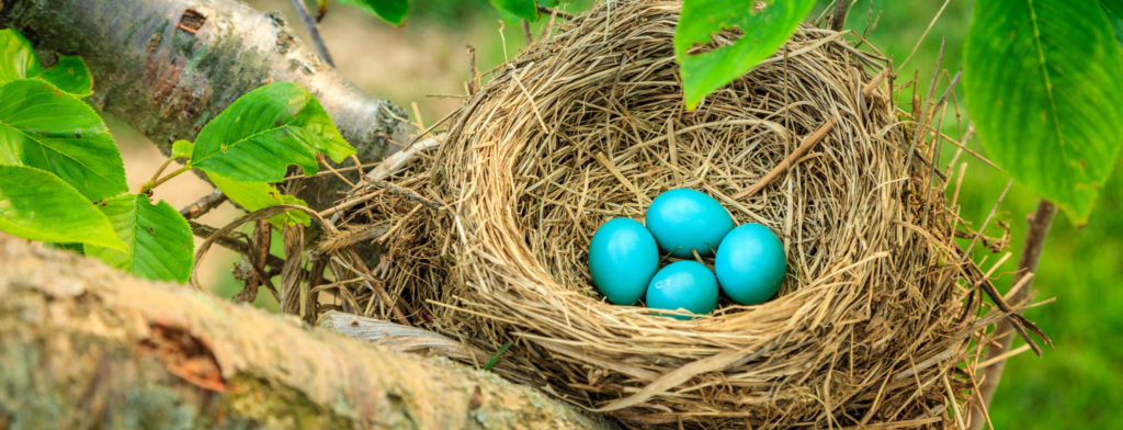 american robin eggs and nest