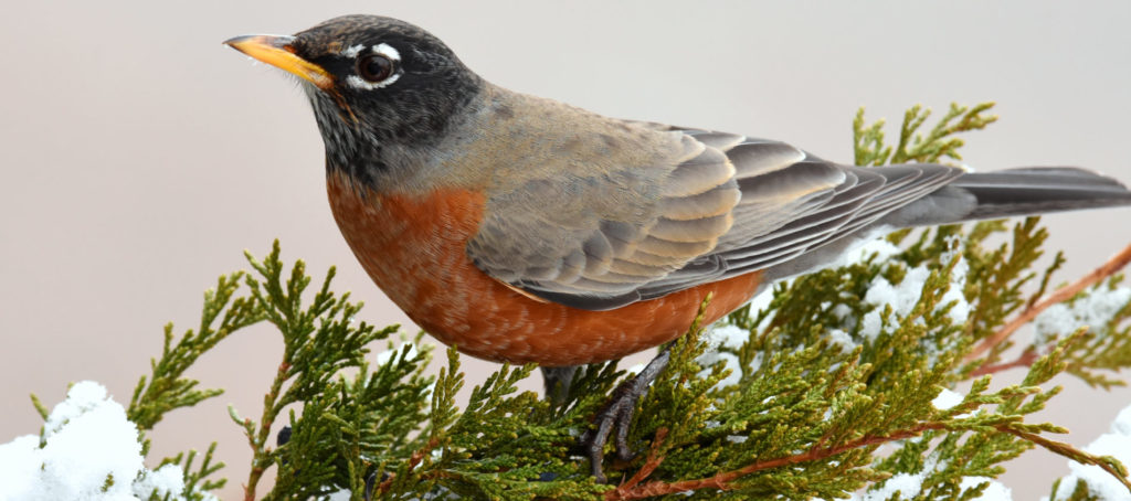 common birds in the united states
