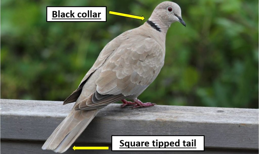 Common doves species in United States