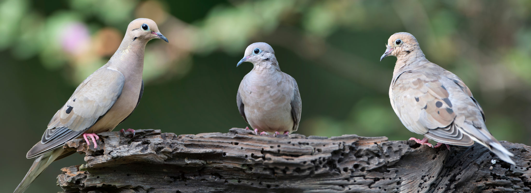 doves in the united states