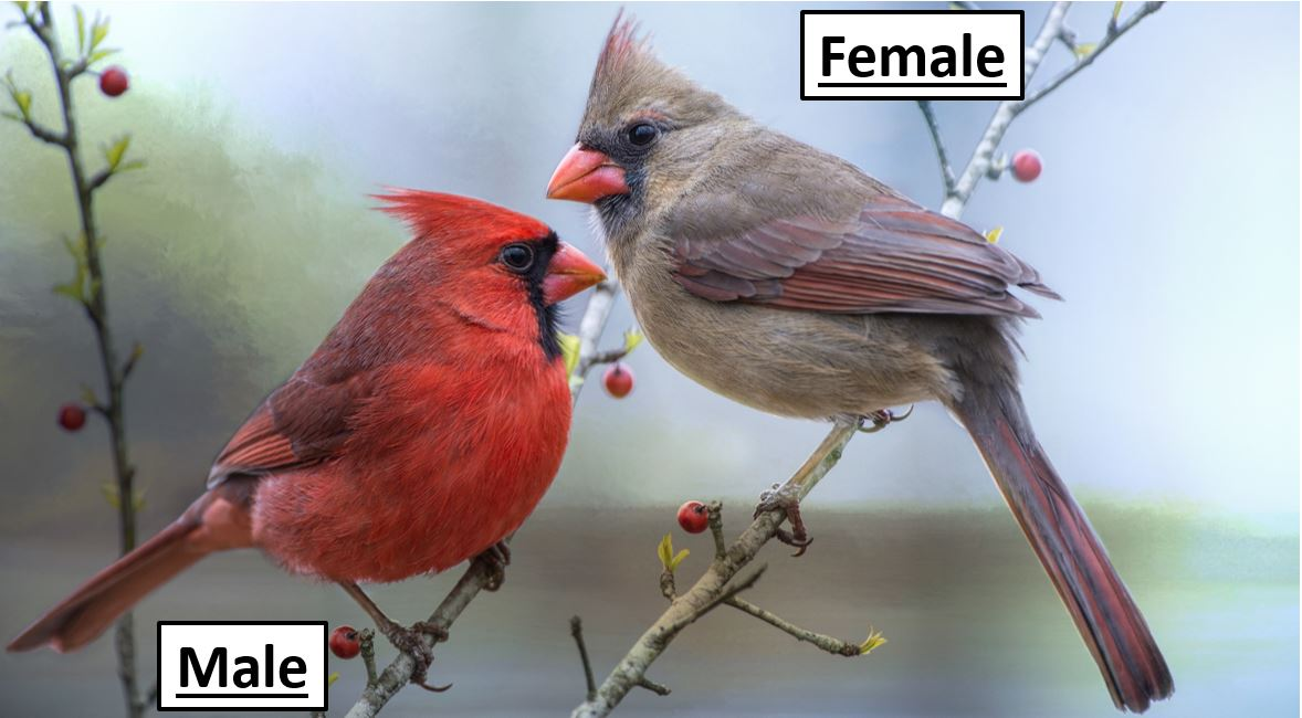 northern cardinal - red bird in the united states