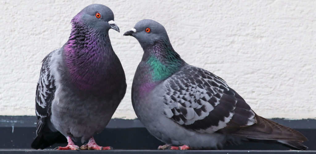 kinds of pigeons