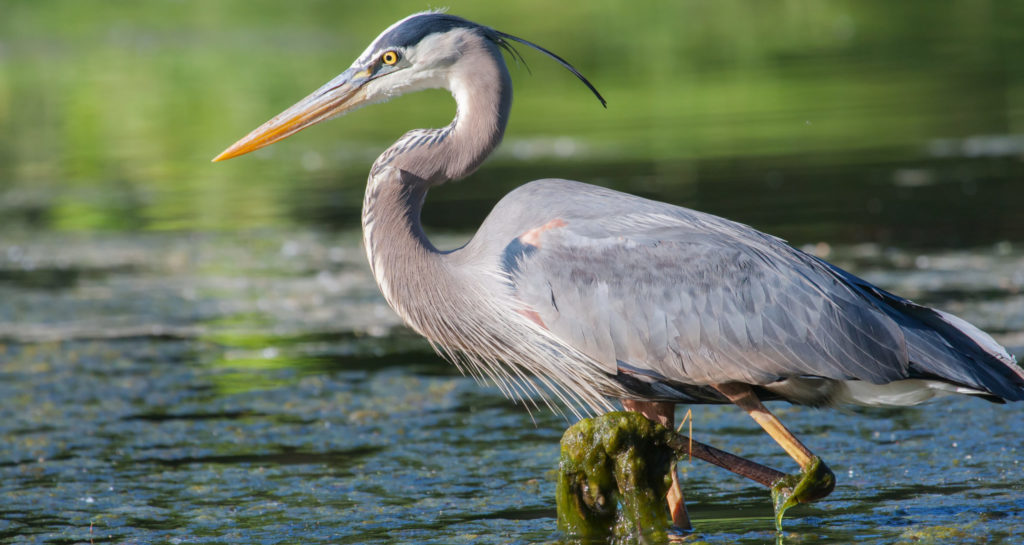 common herons, egrets, and bitterns