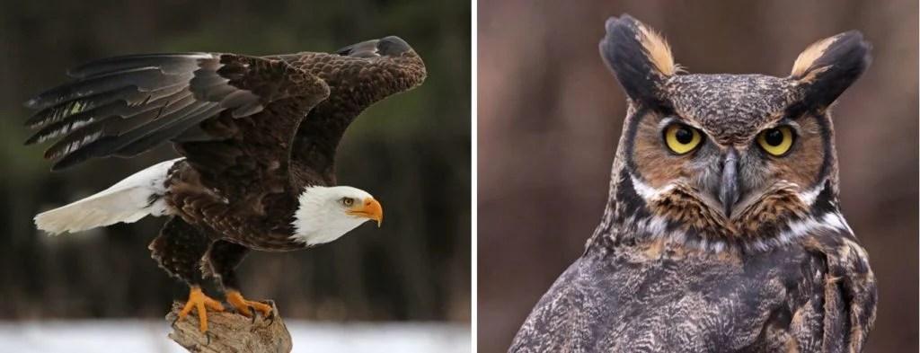common birds of prey and common raptors