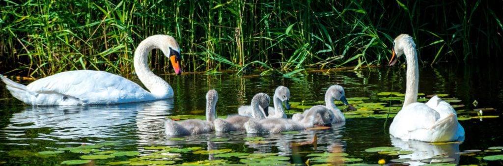 mute swans common and invasive
