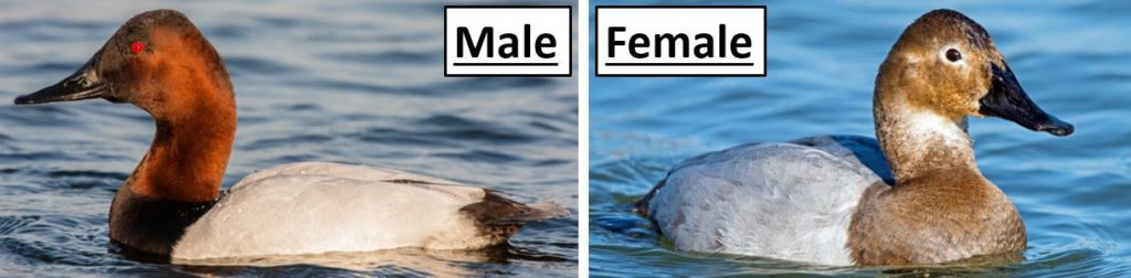 canvasback duck male female