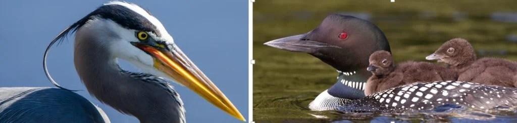 common water birds