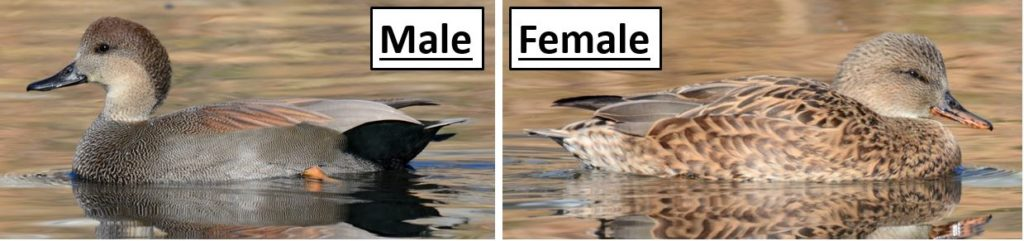 Kinds of ducks in United States